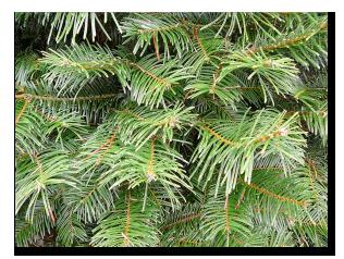 Needle-Beetle-pine-needles1